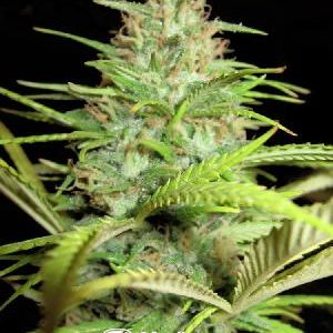 New Big Black Indica Feminized