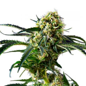 New Big Black Indica Feminized Seeds
