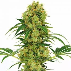 Big Bud - Indica Seeds