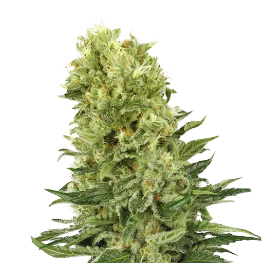 Blueberry 420 Seeds