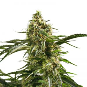 Bob Marley Feminized Seeds