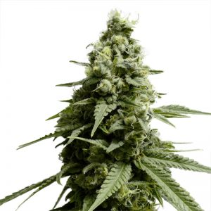 Borderliner Xtrm Feminized Seeds