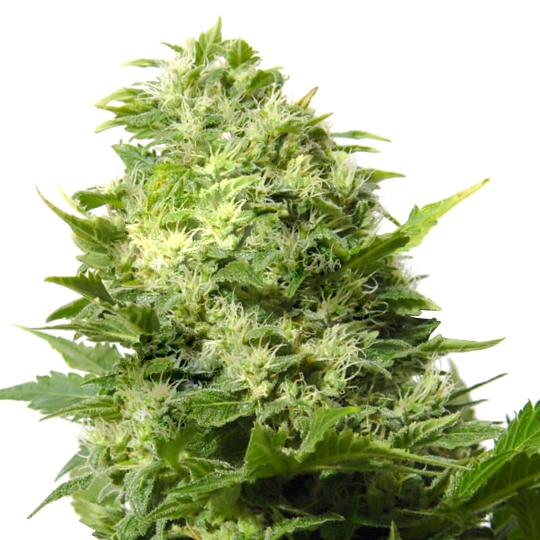 Cheese - Indica Seeds