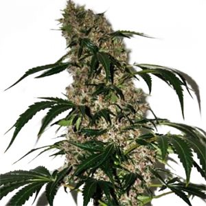 Girl Scout Cookies Xtrm Feminized Seeds
