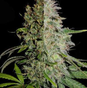 High Thc Feminized Combo Seeds