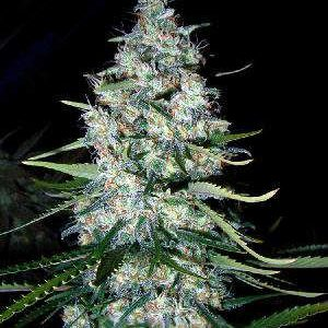 Mexican Sativa Feminized Seeds