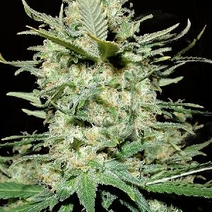 Amnesia Haze Feminised Seeds
