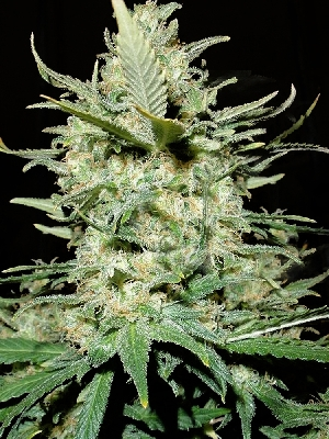 Amnesia Haze Seeds
