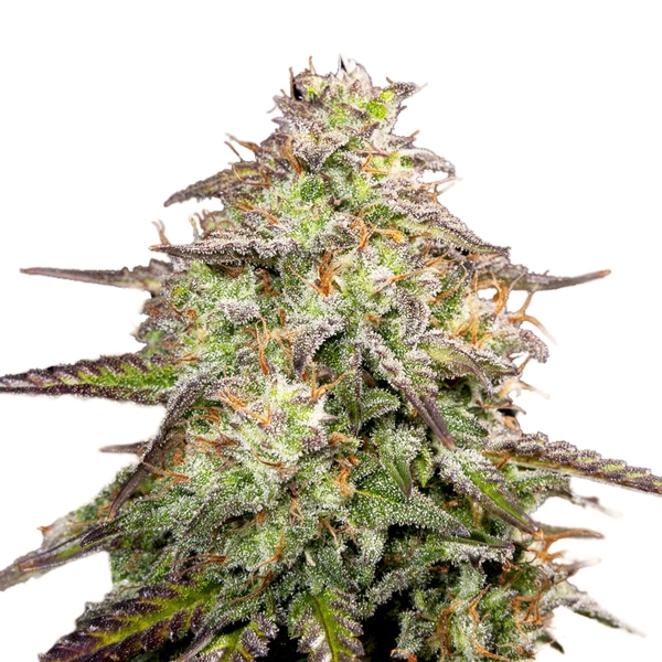 M.O.A.B – Mother Of All Buds Seeds