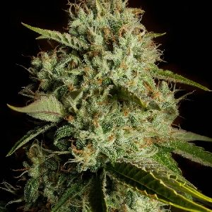 Super Silver Haze Feminized Cannabis