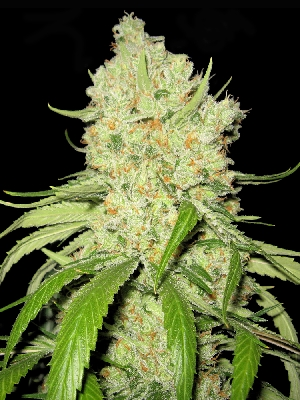 Australian Blues Feminised Seeds