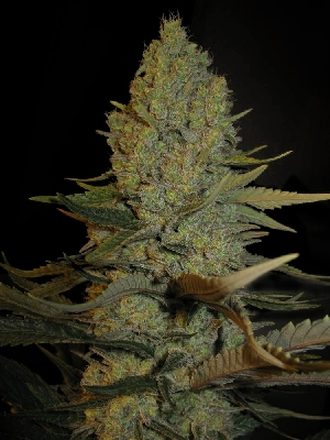 Blue Cheese Seeds