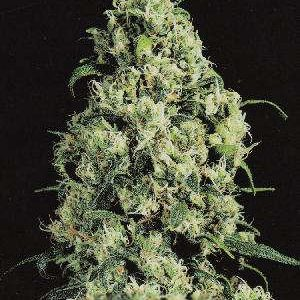 Skunk Number 1 Feminized Seeds