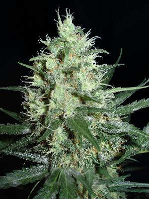 Super Nova Feminized Seeds