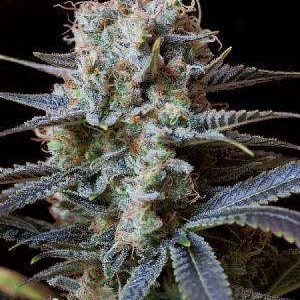 Trainwreck Feminized Seeds