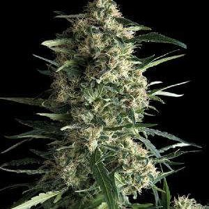 White Haze Feminised Seeds